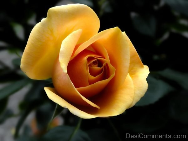 Photo Of Rose Flower