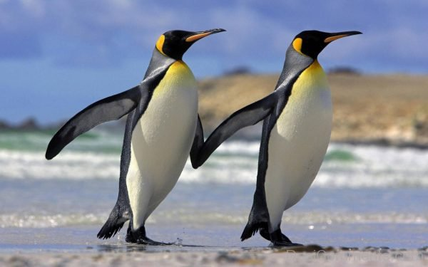 Pic Of Penguin