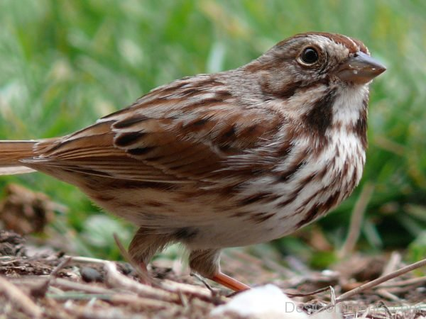 Pic Of Sparrow