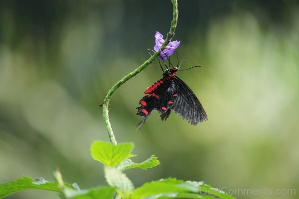 Red And Black Butterfly Pic