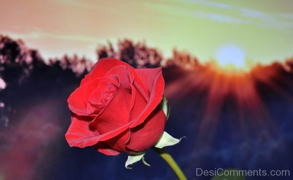 Picture: Red Rose Flower Image