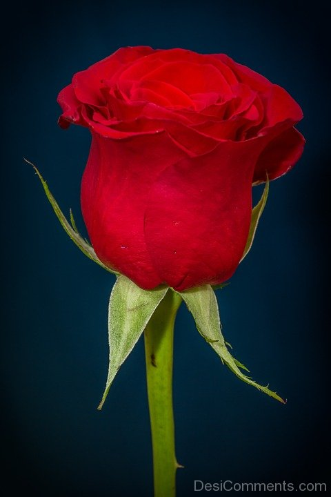 Picture: Red Rose Flower