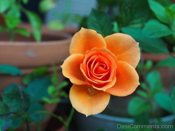 Picture: Rose Hung Plant