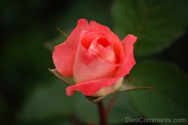 Picture: Rose Image