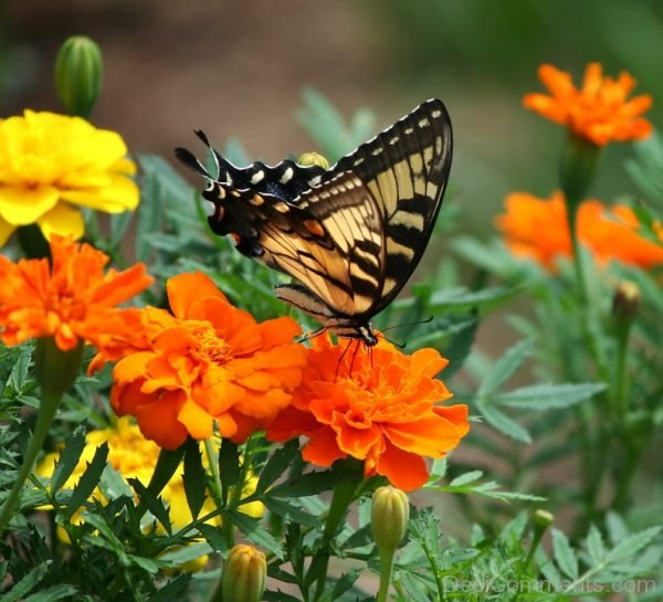 Swallowtail Butterfly Image