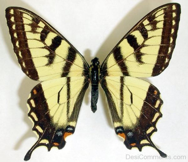 Swallowtail Butterfly Pic