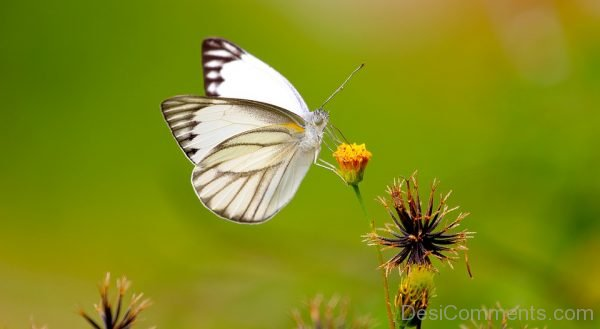 White Butterfly Pic