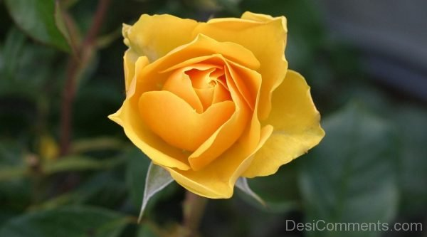 Picture: Yellow Rose