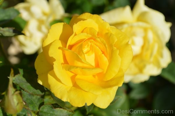 Picture: Yellow Rose Flower Nature