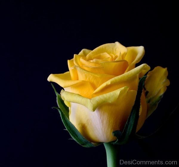 Picture: Yellow Rose Image