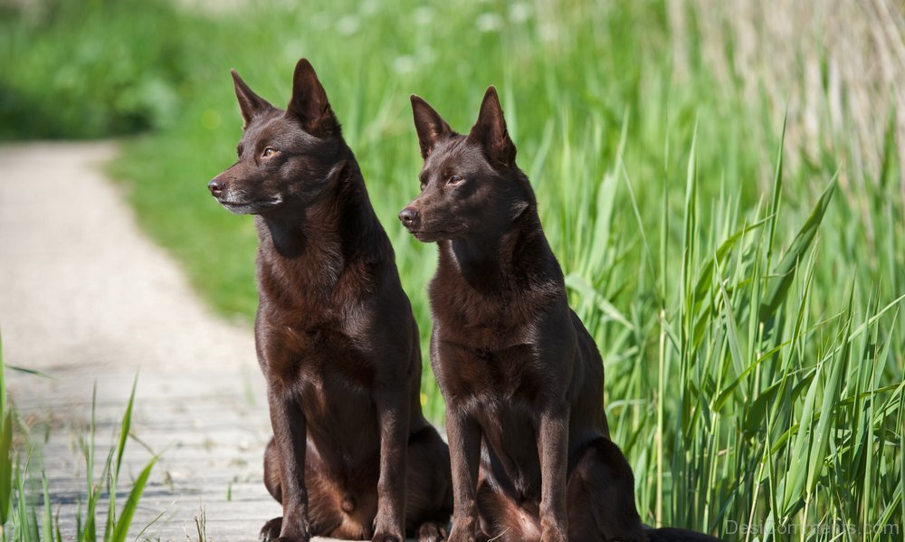 Australian Kelpie Dogs Photo - DesiComments.com