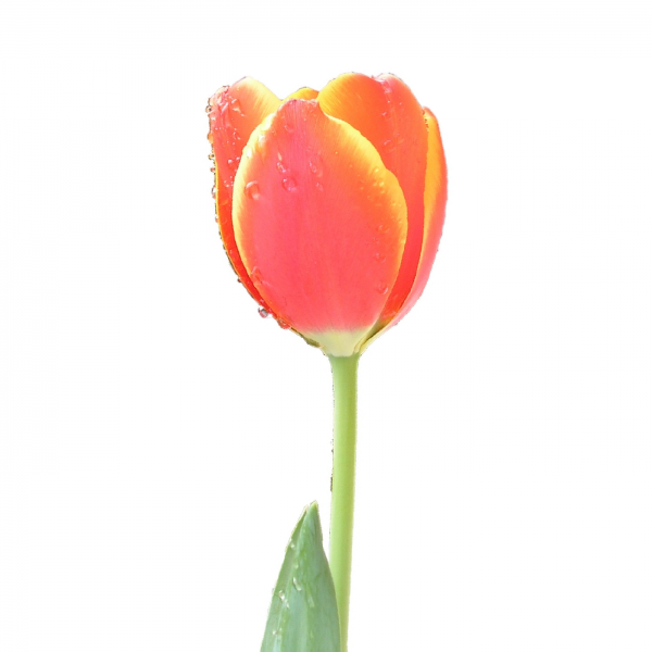 Beautiful Tulip Flower