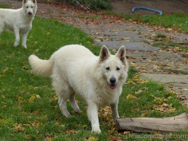 Berger Blanc Suisse Dogs In Park