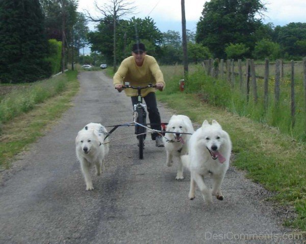 Berger Blanc Suisse Dogs With Owner-ADB96314DC90DC15