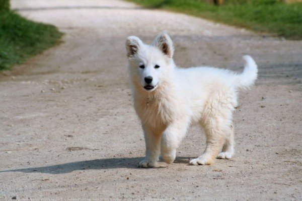 Berger Blanc Suisse Puppy On Road Desicommentscom