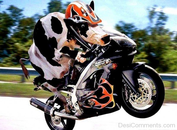 Cow On Motorcycle Funny