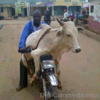 Cow Try To Drive Bike-DC01