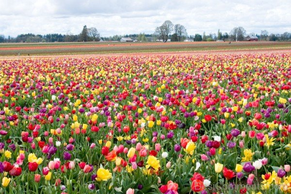 Field Of Tulips Flowers