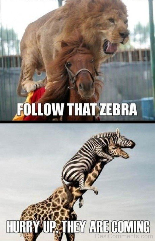 Follow That Zebra-DC31
