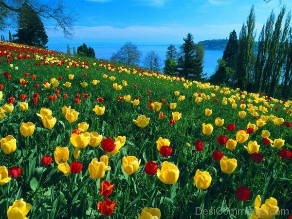 Photo Of Tulips Flowers