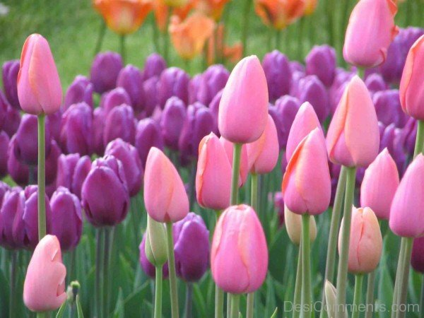 Pink And Purple Tulip