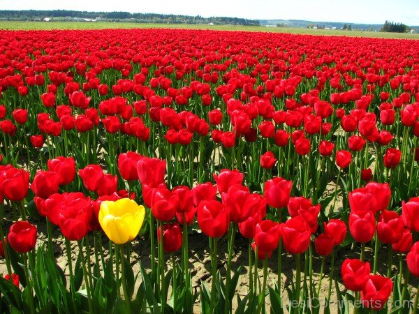 Single Yellow Tulip In A Field Of Red Tulips