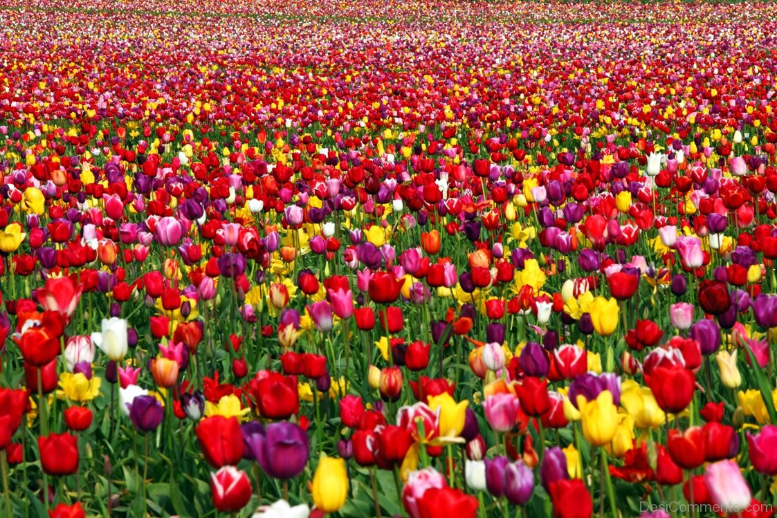 tulips flowers picture  desicomments, Natural flower