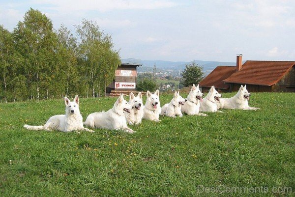 White Berger Blanc Suisse Dogs